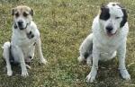 Vidurinės Azijos aviganių šuniukai