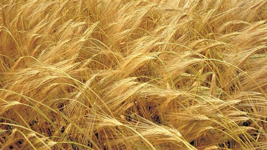 Grūdų derliaus šiemet sulaukta gerokai anksčiau