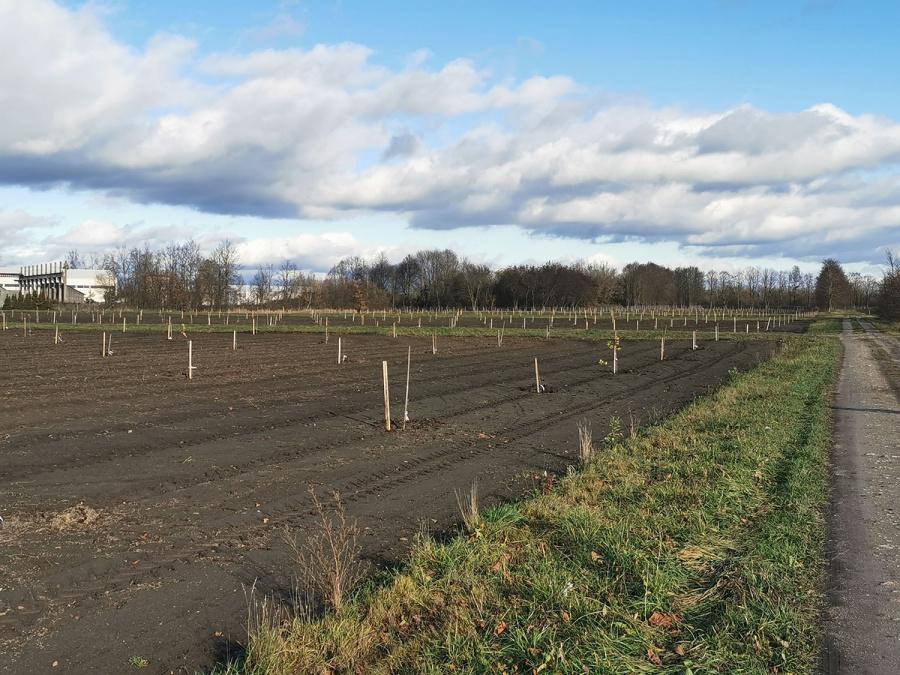 Astos Strazdienės nuotr. Medelyne pasodinta paprastojo ąžuolo sėklinė plantacija.