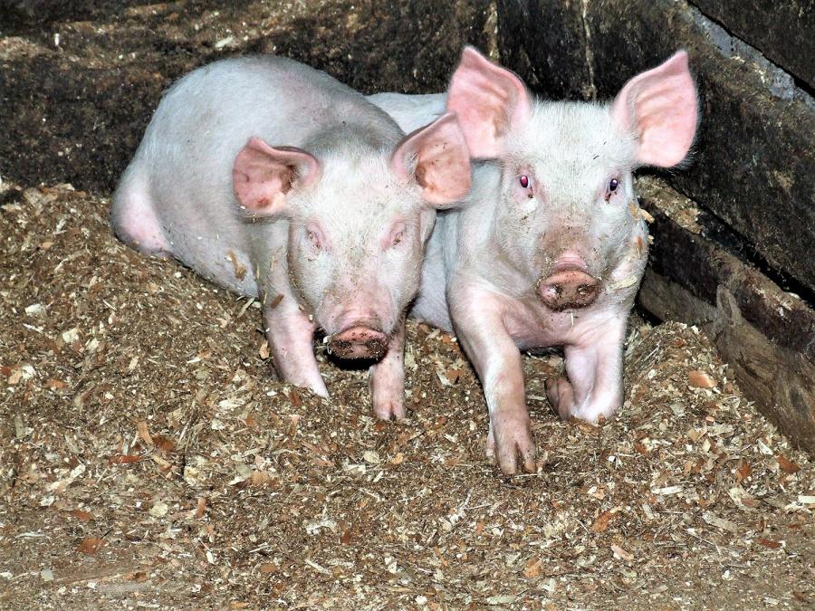 Nuotr. Nuo sausio 1 d. privalu iš naujo deklaruoti laikomus ūkinius gyvūnus. Gedimino Nemunaičio nuotr.