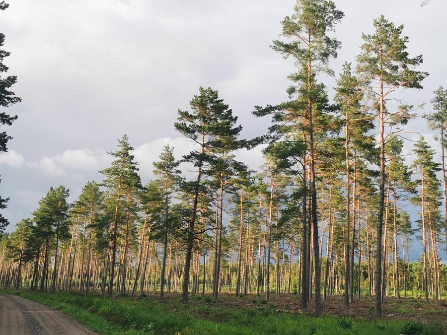 Astos Strazdienės nuotr. Valstybiniai miškai tvarkomi ir ūkininkaujama juose pagal miškotvarkos projektą, kuris parengiamas dešimčiai metų į priekį.